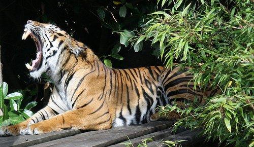 """Ob dieser Tiger auch """"Hangover"""" gesehen hat?"""