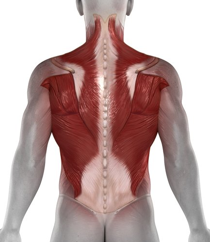 Rot markiert: Lat- und Trapezmuskel, zwei Hauptakteure beim Langhantelrudern